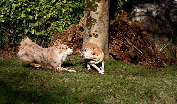 Le chien réactif #1 – Mieux lecomprendre